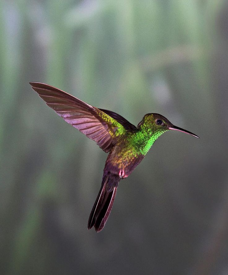 Как выглядит колибри фото