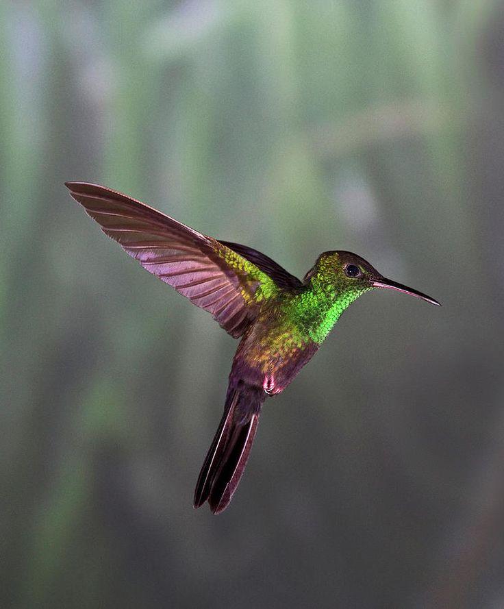 ~~Hummingbird~~