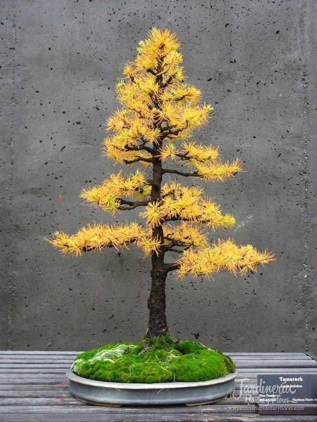 Es un Alerce americano o tamarack en sus colores de otoño... Me encantó y a ti? - http://jardineriaplantasyflores.com/fotos/tamarack/