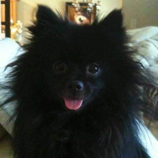 Click and vote for me!!!!!  Cute dog, cute animals, puppies, Pomeranian, black dog