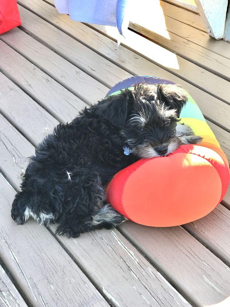 Vito #MiniSchnauzer Schnauzer Puppy  Veraneando en Lago Ranco