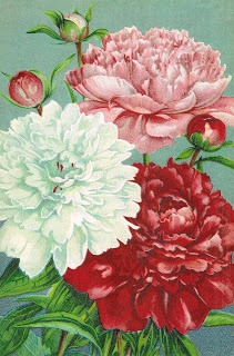 Pink, red, and white peonies from a vintage seed catalog.