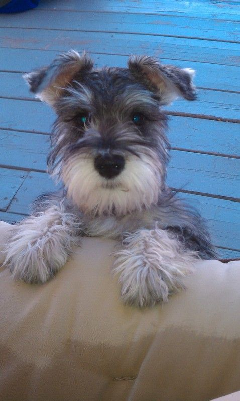 All time faves! | A community of Schnauzer lovers! Link: https://www.sunfrog.com/search/?64708&search=schnauzer&cID=62&schTrmFilter=sales