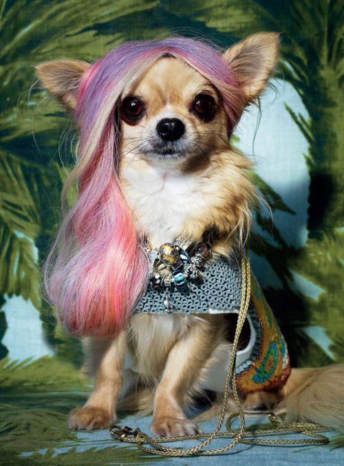 chihuahua Oh la la !!! ♥ Yuppypup.co.uk provides the fashion conscious with stylish clothes for their dogs. Luxury dog clothes and latest season trends, Dog Carriers and Doggy Bling. . Please go to http://www.yuppypup.co.uk/
