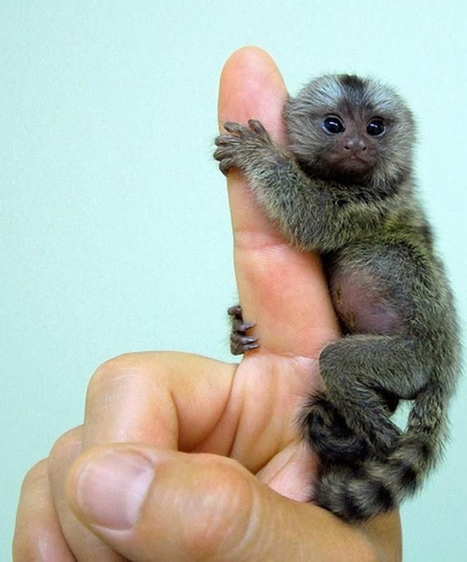 Pygmy Marmoset - so small it fits on your finger. http://ift.tt/2hNEegg