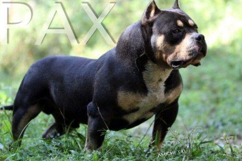 Petclube Filhotes Cães Bully Gatos Gigantes Criadores Ecologicamente Corretos - American Bully