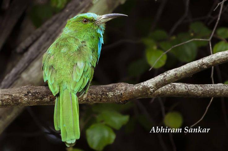 Blue-bearded bee-eater,
