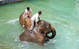 Le bain des éléphants - Les activités - Pairi Daiza