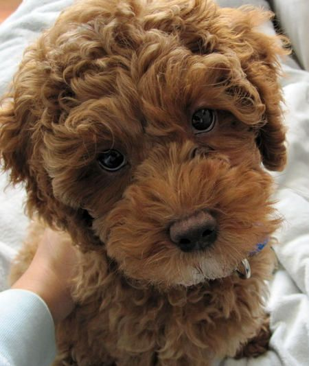 who could resist this face? cockapoo