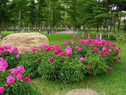 Changchun Model Park   Paeonia Rockii,Gansu Peony,China.   ROCKII Tree Peony Plants,Japanese Peony,HERBACEOUS Peony ,Cinese Tree Peony,Peony Plants,Peony Shrub