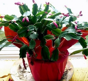 1000 images about schlumbergera and truncata cactus on pinterest thanksgiving flowering. Black Bedroom Furniture Sets. Home Design Ideas