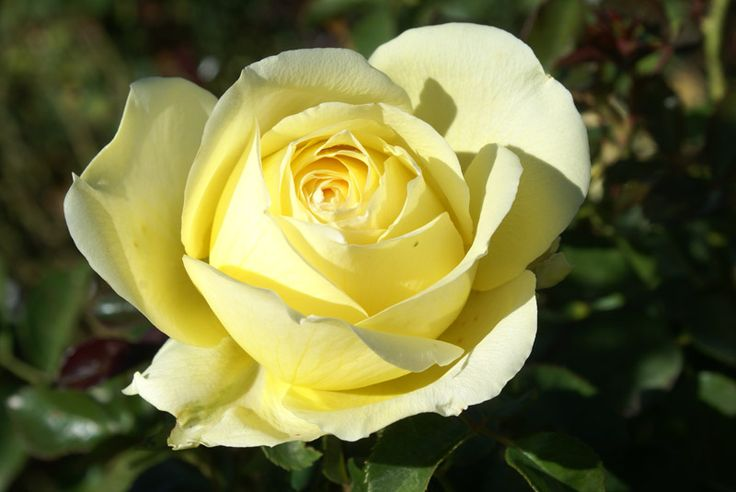 Statuesque, 2m high and densely branched, covered with healthy glossy foliage, producing light yellow, shapely big blooms in an incredible abundance. A truly multipurpose rose – for growing in pots, as beds, specimens and even hedges.