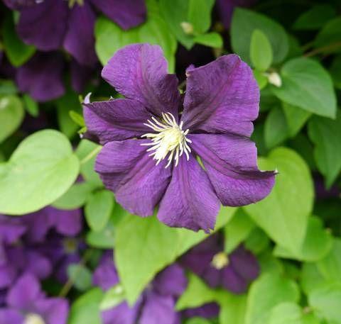 POPULÆR: Klematis kommer i alle mulige farger og er den mest populære klatreplanten på markedet | LEV LANDLIG
