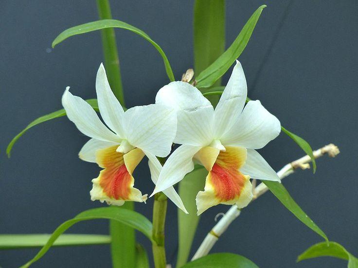 Orchideen badezimmer ~ Die besten dendrobium orchideen ideen auf blaue