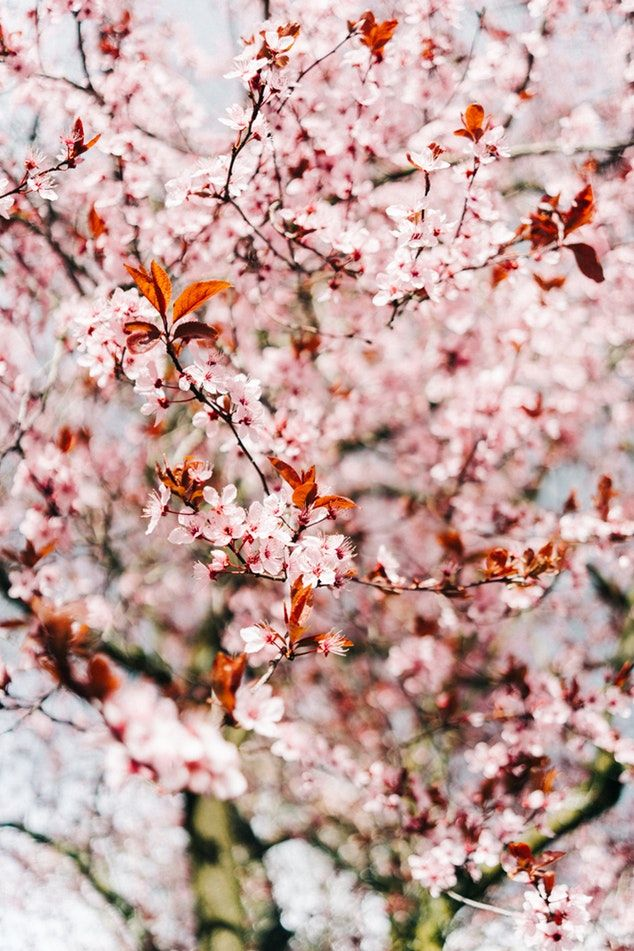 Blossom Tree Flower And Bloom Hd Photo By Mike Marquez Mensroom On Unsplash Companion Gardening Companion Planting Cherry Blossom Wallpaper