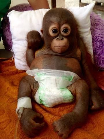 Budi the baby orangutan who is critically ill at IAR's Orangutan Rescue Centre | International Animal Rescue