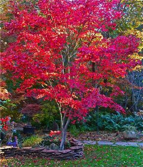 Fireglow Japanese maple is one of the best upright Japanese maple trees for hot sun exposure. Its autumn foliage is always magnificent. Read more: http://www.finegardening.com/collaboration-nature#ixzz3uJj8w7EX Follow us: @finegardening on Twitter | FineGardeningMagazine on Facebook