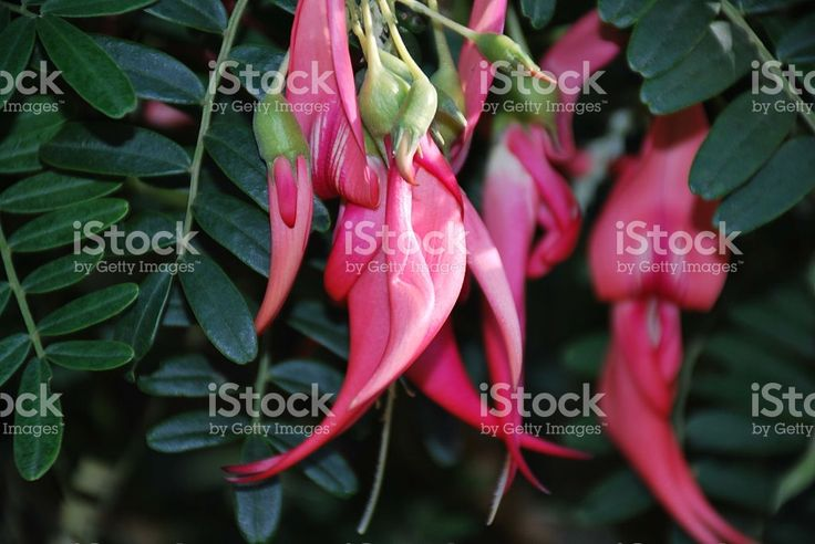 Kakabeak (Clianthus) royalty-free stock photo