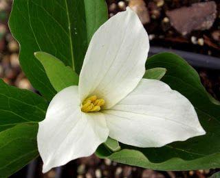 provincial flower of ontario - White trillium