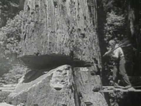 Redwood Lumber Industry Short Docu, Northern California - 1947