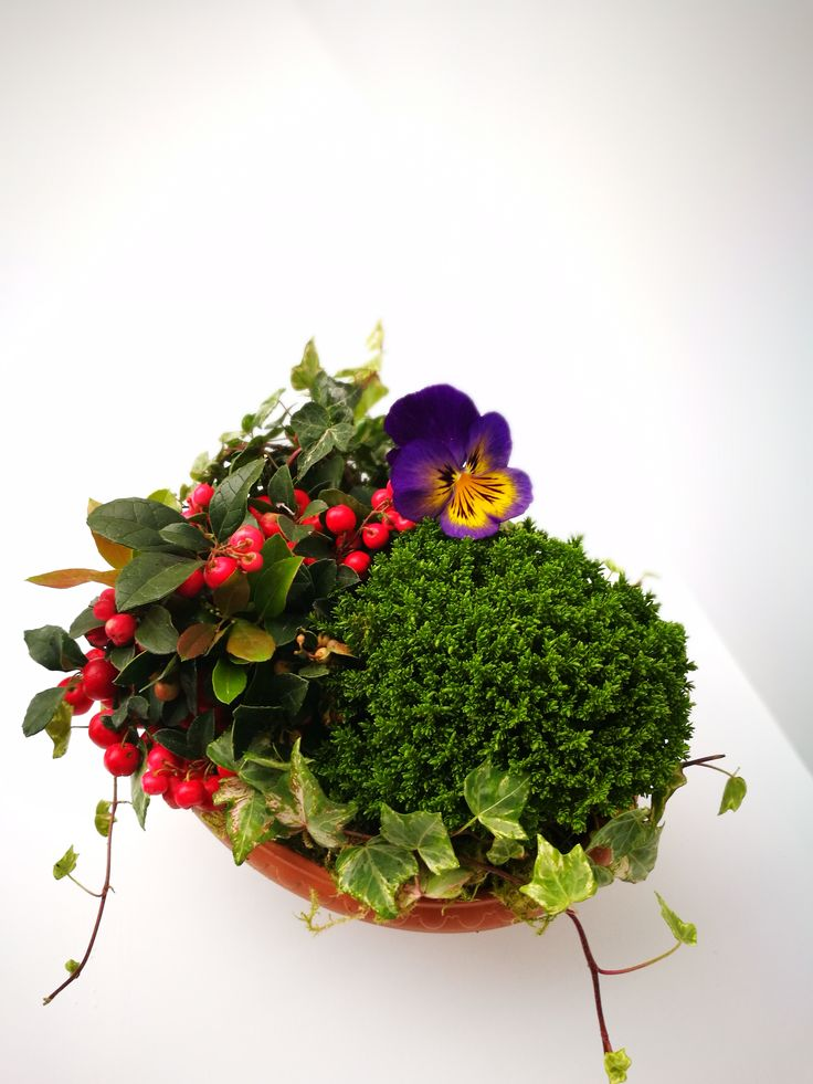 Ein winterharte fertig bepflanzte Herbstschale! Bestehend aus den folgenden Pflanzen: Hebe  Gaultheria - Scheinbeere Viola Efeu