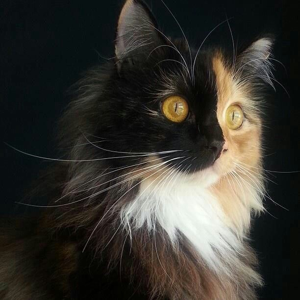 Calico cat ~ Phantom of the Opera. Indeed this kitty is as two-faced as the famous Phantom. Just like with tortoiseshells, half-red-half-black faces appear in calicos.