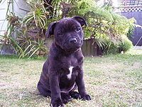 A puppy of the breed. Staffordshire Bull Terrier