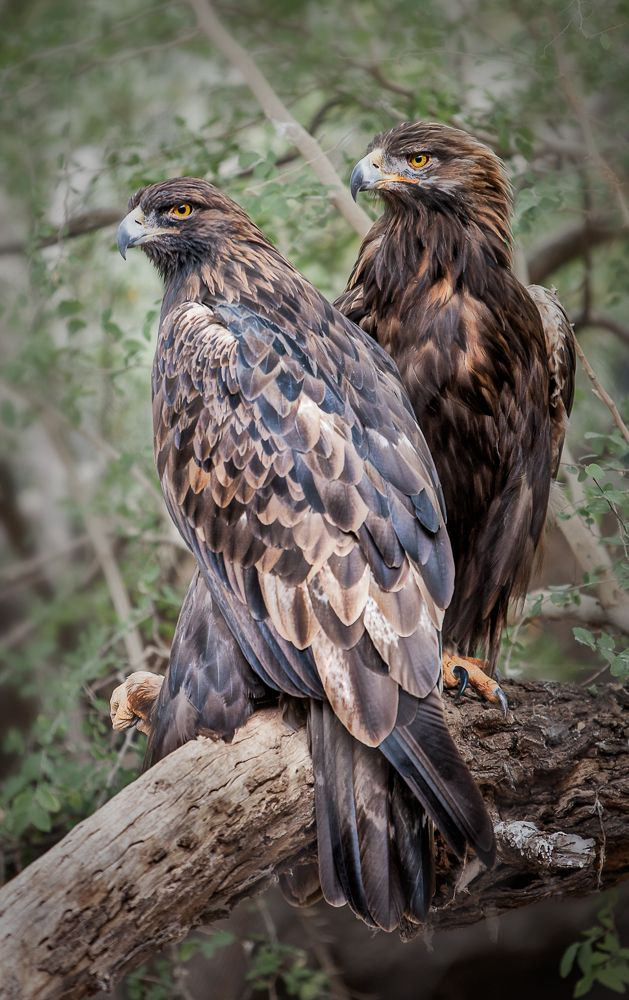 Golden Eagles, Magnificent Birds                                                                                                                                                                                 More