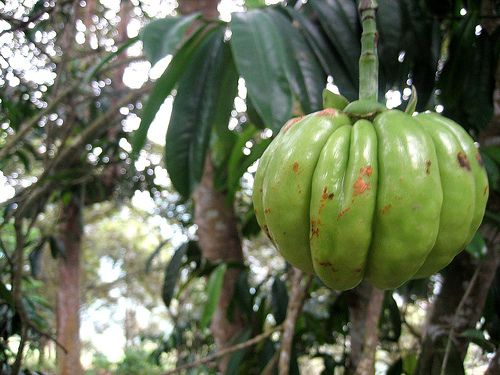 Do Not Try Garcinia Cambogia (HCA) Until You Read the Facts About It Now