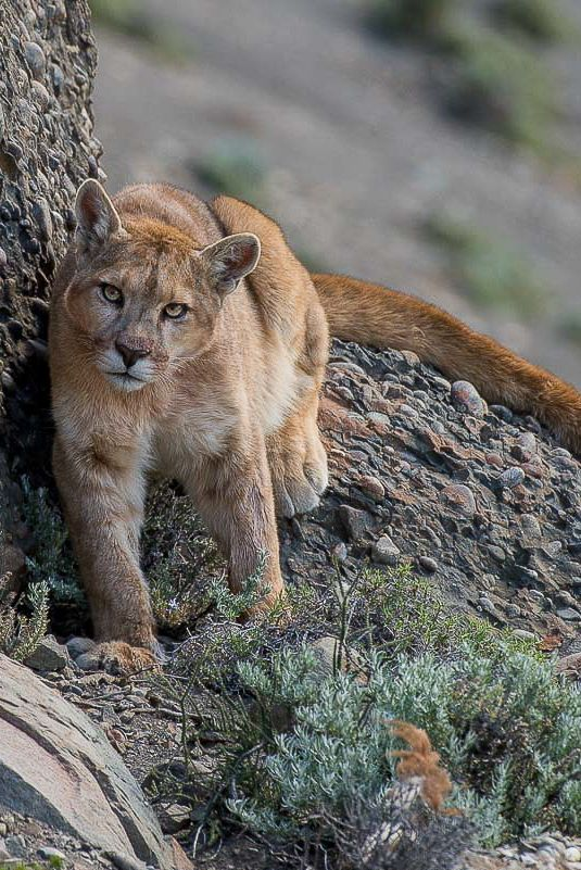 Pumas of Torres del Paine National Park in Chilean Patagonia captured by nature photographer and guest Alex Macipe, from Buenos Aires, Argentina.  All these great images were taken by Alex while joining one of our Puma photo tours at this incredible national park of southern Chile.  #Pumas #Patagonia #Chile