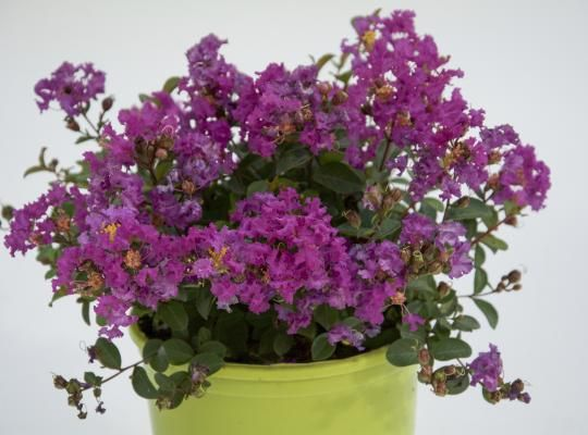 Bellini™ Grape Lagerstroemia | Star Roses and Plants