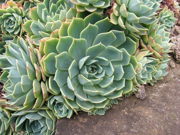 Echeveria Sembrada En El Suelo Succulentavenue Suculentas Echeveria Suculentas Echeveria Jardines