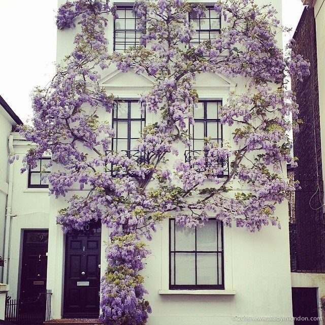 House with Wisteria in Kensington