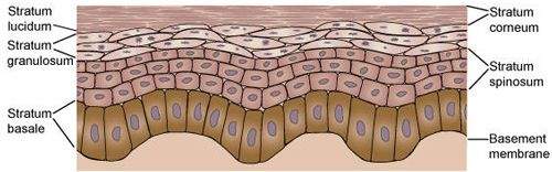 What causes Pimples - How skin works. Top layer of the skin.