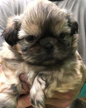 Litter Of 7 Shih Tzu Puppies For Sale In Antrim Nh Adn 32565 On Puppyfinder Com Gender Male S And Female S Age 4 Weeks Puppies For Sale Shih Tzu Puppies
