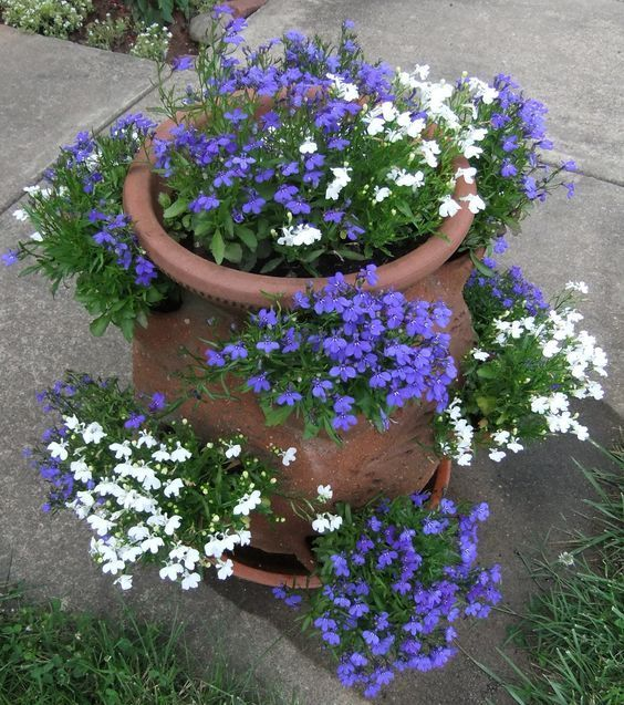 My old strawberry pot with blue and white lobelia