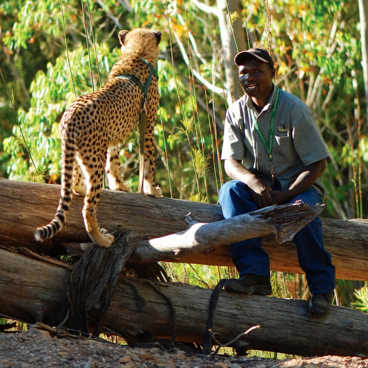 Sunset Cheetah Walk and other fantastic up-close encounters with the wild. | Enjoying the view. Tanikwa Rehabilitation Centre, in Plettenberg Bay, Africa.