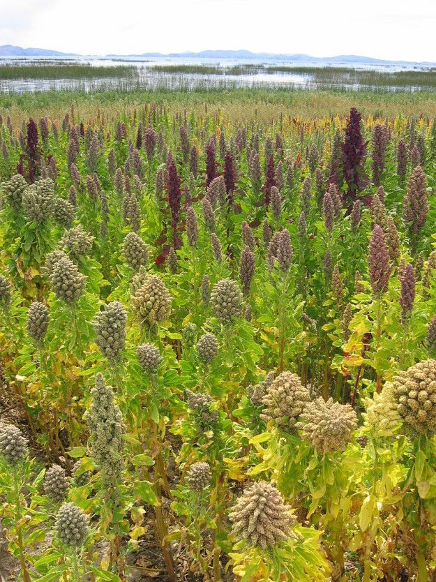 Quinoa is the edible seeds of this plant. | 21 Fruits And Veggies You Didn't Know Grew Like That