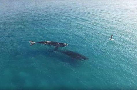 Diesen Moment wird Dave Price nie wieder vergessen. Beim Stand-up-Paddling  schwammen 2 Wale ganz nah an ihn heran. Die faszinierende Begegnung im Video.