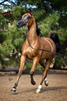 RD Moreno (Bey Ambition x Mi Morena) 2012 bay gelding bred by Rae-Dawn Arabians, Canada