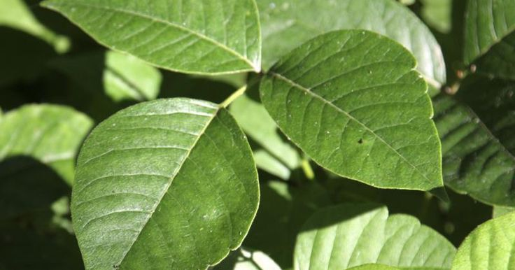 Baking Powder Poison Ivy Treatment | LIVESTRONG.COM