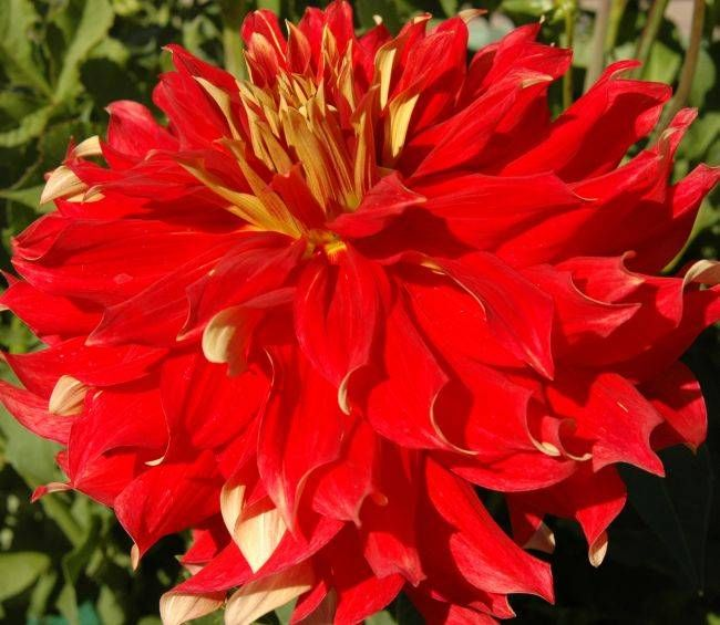 BODACIOUS is one of the largest dahlias I grow. The bright red with the touch of yellow adds to the drama.