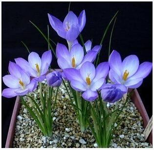 Saffron Seeds,Saffron Flower Seeds,Saffron Crocus Seeds,It Is Not the Saffron Bulbs - 20 Seeds