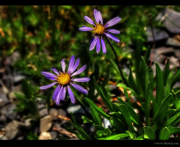 Wildflowers seen at Mount Rainier National Park, Washington State, USA...taken by myself - ©Ann Badjura