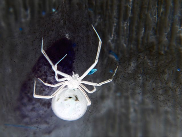 albino black widow. cool!