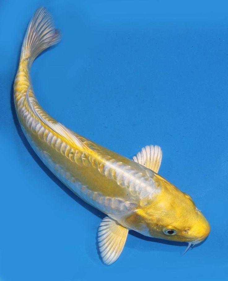 423 best koi fish images on pinterest fish aquariums for Blue and white koi fish