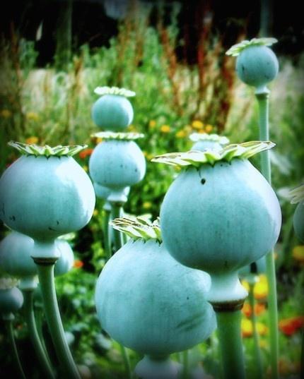 Fields of Blue Poppy: fine art photography: lupen grainne