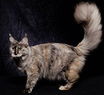 #MaineCoon #Black #Torty #Smoke #Solid #Cats Kelim Coons Partly Sunny