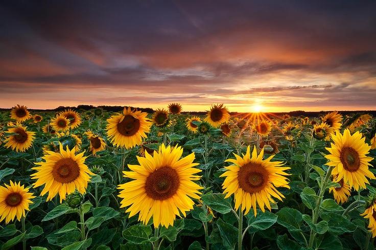 Sun-flower Rise: Flower Pictures, Michael Breitung, Flower Gardens, Landscape Photography, Nature Photography, Sunflowers Fields, Sunsets Photography, Flower Photography, Yellow Flower