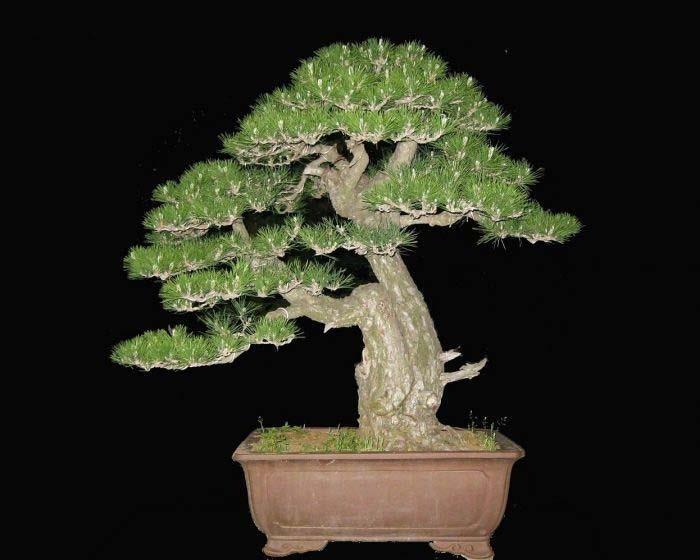 M s de 1000 im genes sobre bonsai en pinterest plantas y - Jardin de bonsais ...